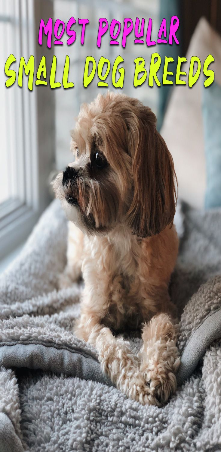 Top 15 Small Dog Breeds Choosing The Right Dog For You Small Dog Breeds Dog Breeds Medium Dog Breeds
