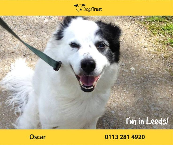 Poor Oscar found himself at Dogs Trust Leeds through no fault of his own. At 12 years of age he has found his sudden change in circumstances tricky to cope with and he can be a little shy of new people when out and about. Oscar is very well behaved in the home, he is housetrained, likes a snuggle and should be fine left on his own once he has settled into his new home.