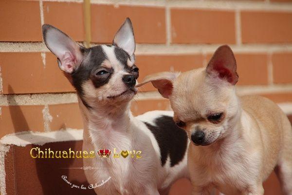Chihuahuas Love - Adopcion de Chihuahuas. Yo no Compro, Adopto.