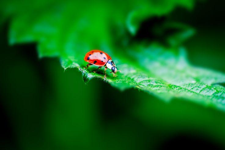 Ladybug by Olivier Ferrari on 500px