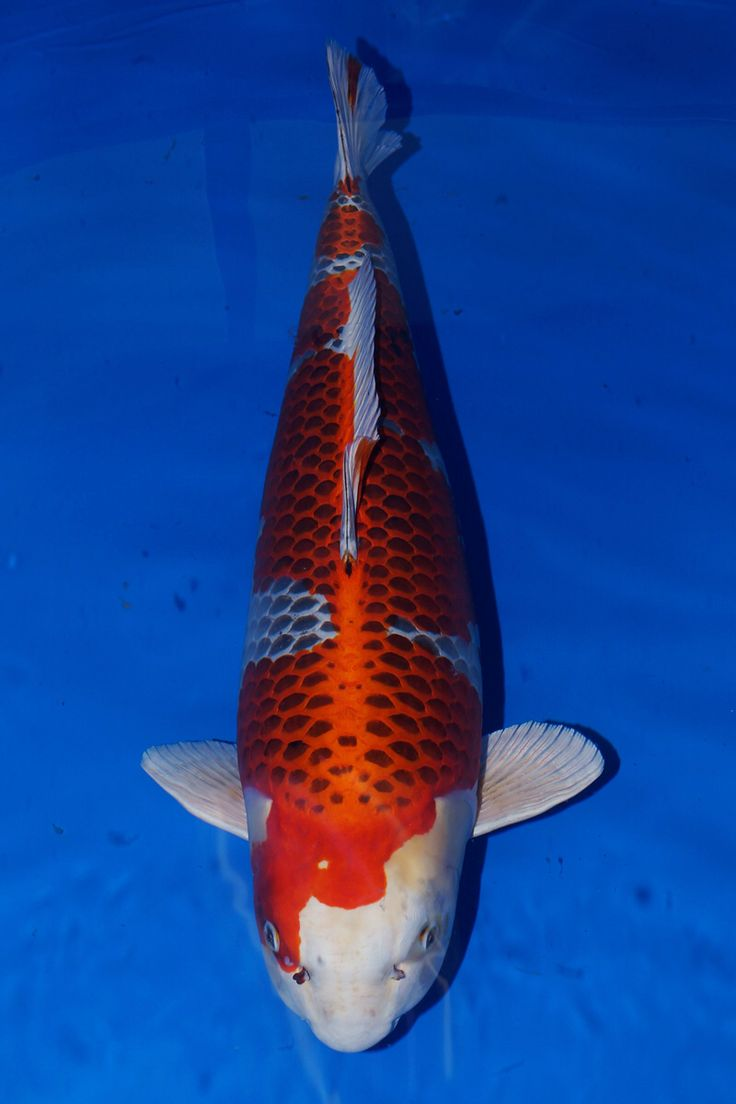 1282 best images about koi n fish on pinterest goldfish for The best koi fish