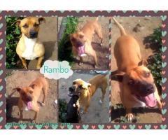 RAMBO BUSCA FAMILIA  #Adopción #adopta #adoptanocompres #adoptar #LealesOrg  Contacto y info: Pulsar la foto o: https://leales.org/animales-en-adopcion/perros-en-adopcion/rambo-busca-familia_i551 ℹ  Rambo este precioso macho nació el 01/02/2012 y está castrado. El pobre estuvo 8 meses encerrado en la jaula de una perrera.. por suerte poco antes de que lo sacrificaran pudo salir a residencia. Pero lleva todo este tiempo esperando..y nadie pregunta por él. Es muy guapo muy cariñoso y simpático…