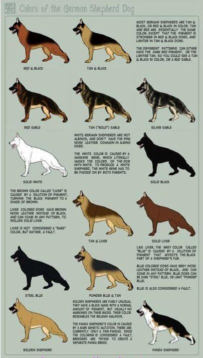 GSD colours: German Shepherd Dogs, Germanshepherd, Colors Charts, Dogs Coats, German Shepards, Dogs Breeds, Gsd Colors, Black, Animal