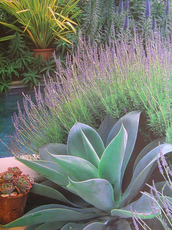Agave - Lovely w Lavender