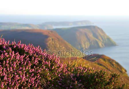 Скачать - Цветение фиолетовый вереск, скалы и море. Остров Мэн — стоковое изображение #52277473