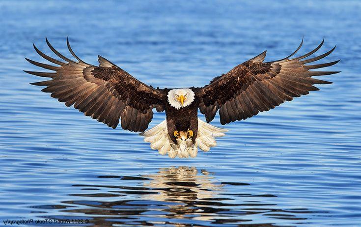Gambar Burung Elang Diatas Air