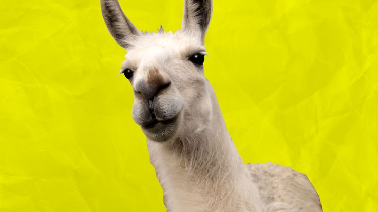 Everything you need to know before getting a pet llama.