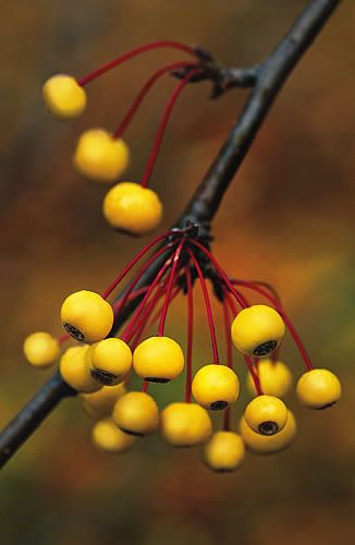 39 best mahonia and berberis images on Pinterest Shrubs