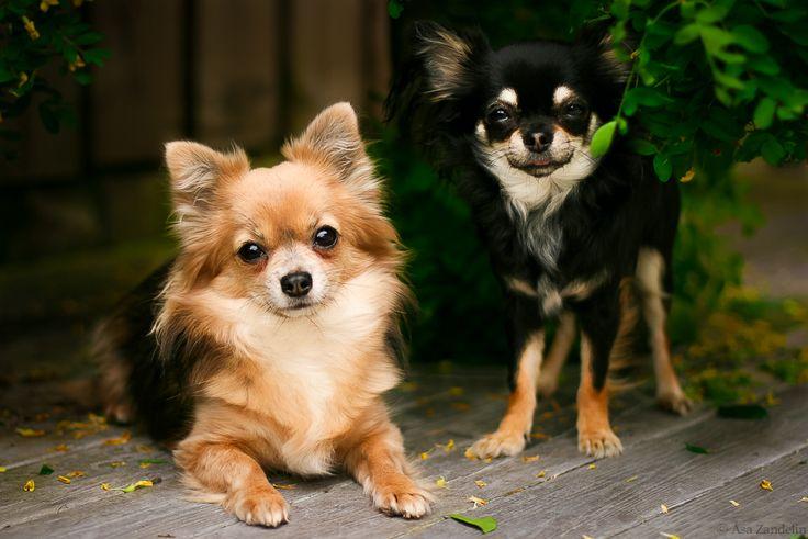 Two Chihuahuas, animal friends. Photo by Åsa Zandelin