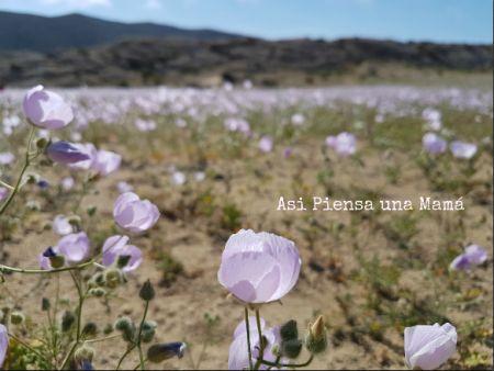 El desierto más árido del mundo, en flor. Primavera en el desierto de Atacama, Chile. Viajes y paisajes.