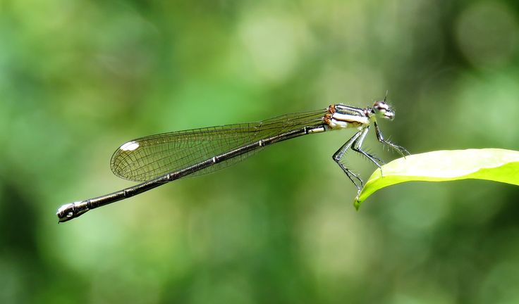 Gold Tail Damselfly