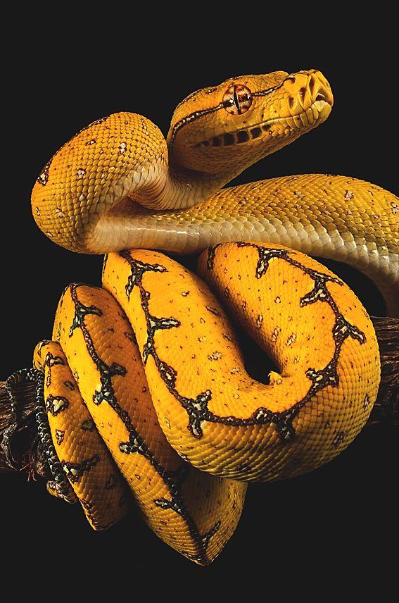wavemotions: Gree Tree Python by John Starkey