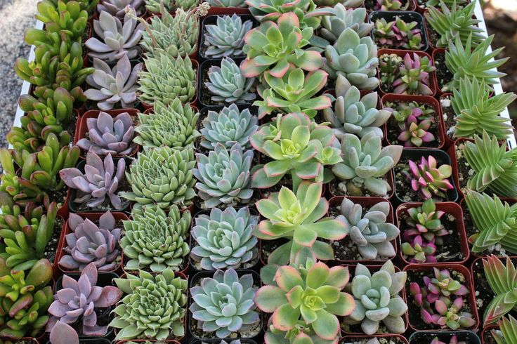 "2"" Wedding Succulents bulk wholesale wedding Favor gifts at the succulent source - 3"