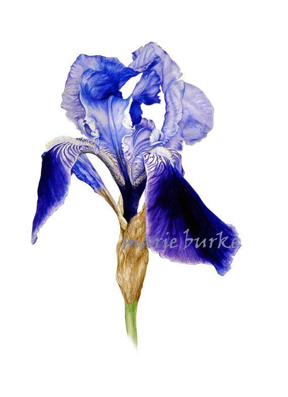 Iris - Large fine art botanical print, 16 x 11 or 13 x 19inches, botanical art, botanical watercolor