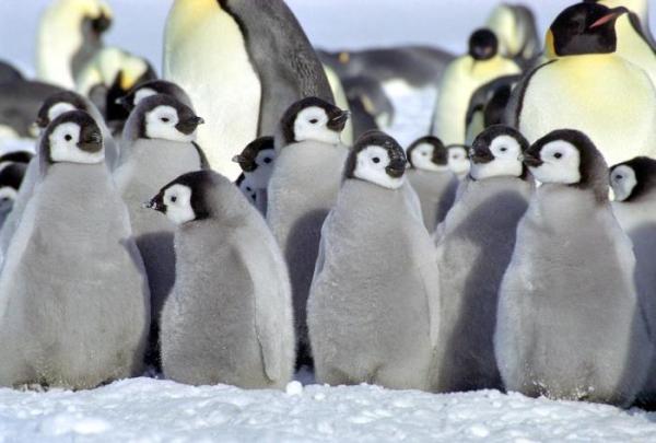 yavru penguenler.    yerelhaberim.net
