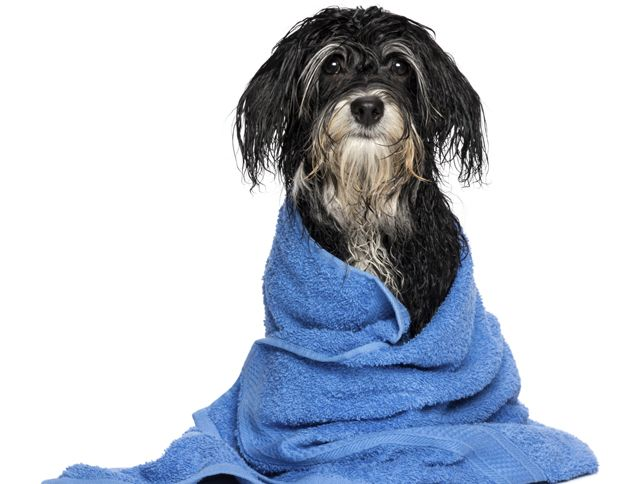 Image result for Giving Your Havanese a Bath