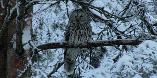 Pöllöt - metsän salaperäiset olennot