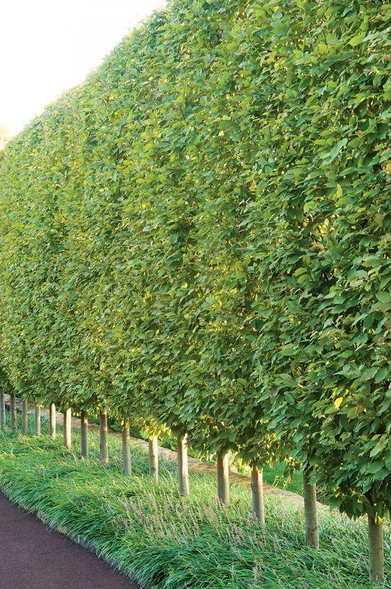A sheared fastigiate European hornbeam hedge (under-planted with liriope) lines a driveway in Villanova, Pennsylvania.: