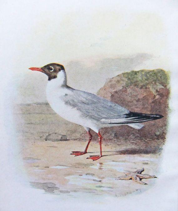 Black-Headed Gull - Antique Bird Print - Vintage Sea Bird Illustration - Bird Print - Seaside Decor- Beach Decor - Drawing by A. Thorburn on Etsy, £6.50