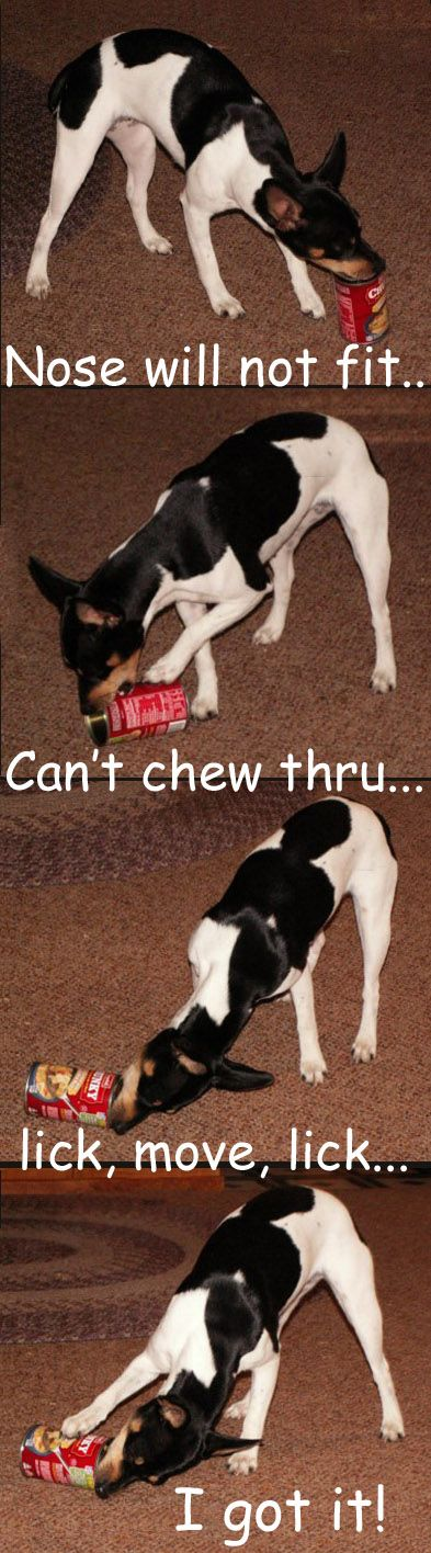 """""""Nose won't fit... Can't chew thru... Lick, Move, Lick... I got it!"""" ~ Dog Shaming shame - Rat Terrier doing the can can"""