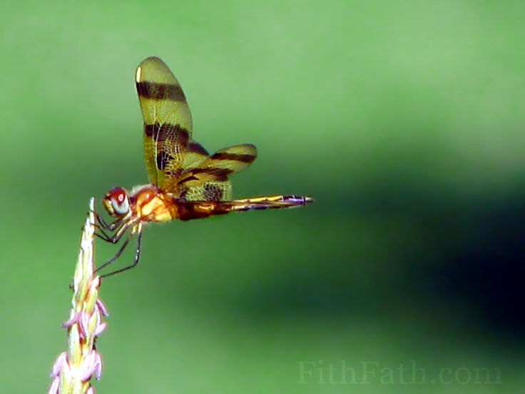 The 19 Best Dragonfly Anatomy Images On Pinterest Dragon Flies