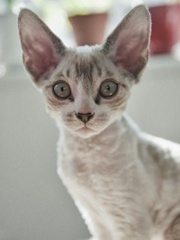 Cornish Rex. Kinda of cat I want better for allergies .no cats are fully hypoallergenic but this ones apparently closer