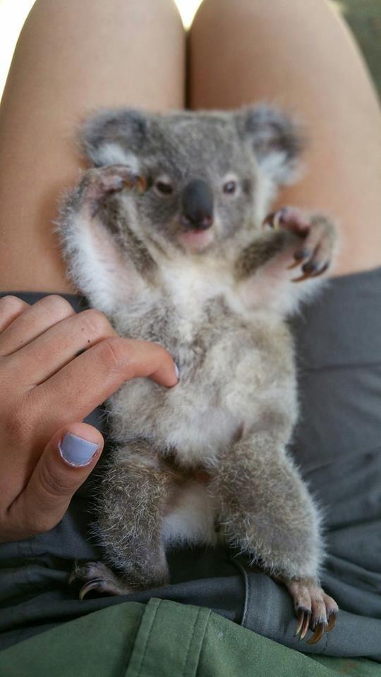 kleine koala...