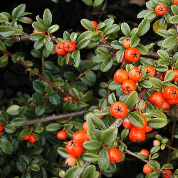 bearberry cotoneaster tynursery wholesalenursery groundcover zone5 zone6 zone7 zone9. Black Bedroom Furniture Sets. Home Design Ideas