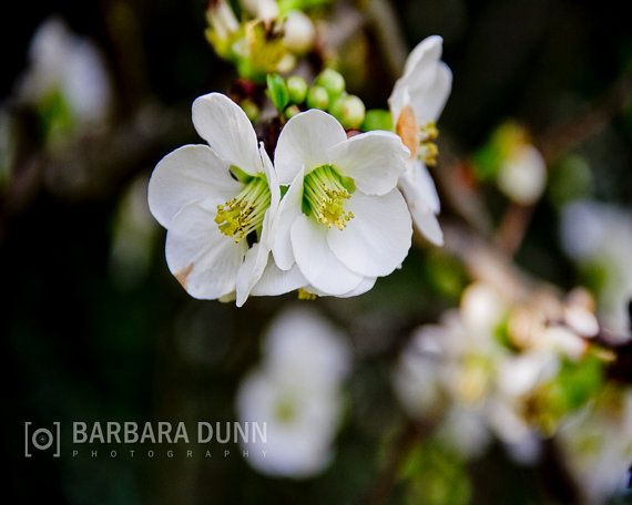 White Blooms in Spring Digital Photograph by BarbaraDunnPhotos, $10.00