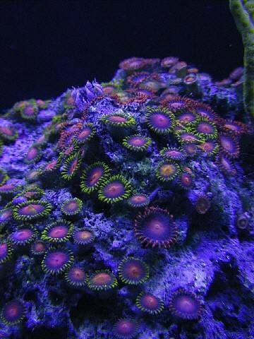 corales zoantus