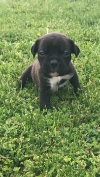 Litter of 9 Boxer puppies for sale in STERLING HEIGHTS, MI