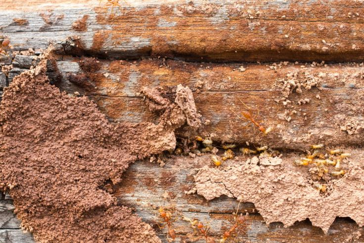 termite eggs look like