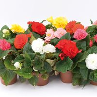 BEGONIA TUBEREUX BEGONIA TUBEREUX-FORTUNE F1 (Begonia tuberhybrida (ou tuberosa))-mélange, graines enrobées - Graineterie A. DUCRETTET