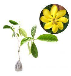 Gardenia Carinata Rp 114,000