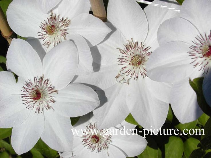 17 best images about white clematis on pinterest. Black Bedroom Furniture Sets. Home Design Ideas
