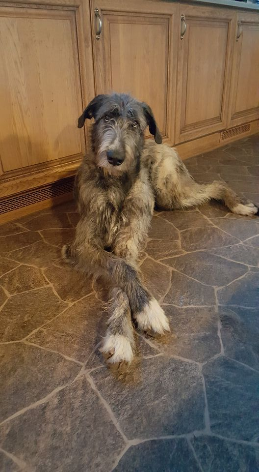 I'd love an Irish wolfhound, but i'm not sure if i would be able to handle it :/