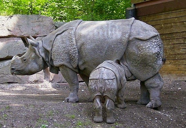 The very endangered Javan rhino.  www.savetherhino.org works to save all 5 species of rhinos. RHINO FORCE bracelets help raise funds for SRI, a well established NGO in the UK www.beadcoalition.com