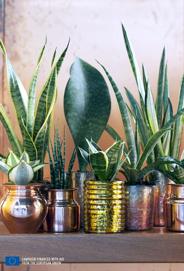 25 best ideas about snake plant on pinterest indoor plants low light sansevieria trifasciata - Plante langue de belle mere ...