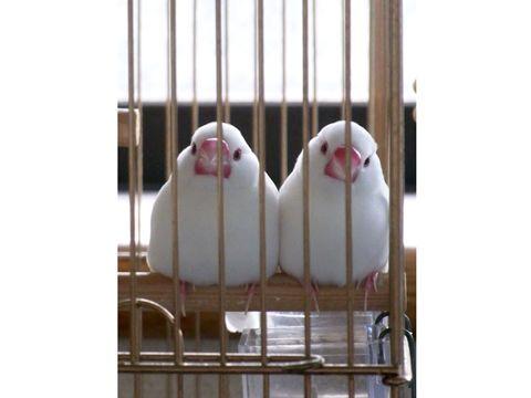 白文鳥おもち×2