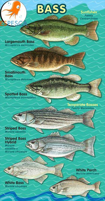 Infografías de peces 31