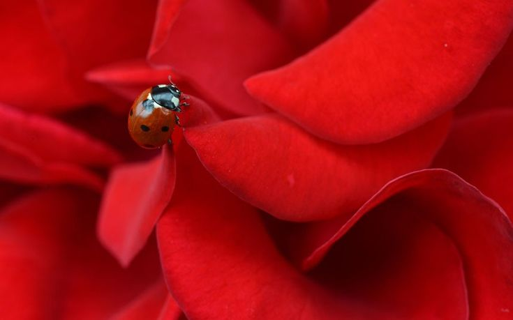 A ladybird sits on a rose in Lofer, in the Austrian province of Salzburg. Picture: Kerstin Joensson/AP: Mariquita Ladybugs, Ladybugs Sit, Roses, Red Rose, Austrian Provinc, Ladybird Sit, Beautiful Ladybugs, Ladies Bugs, Animal
