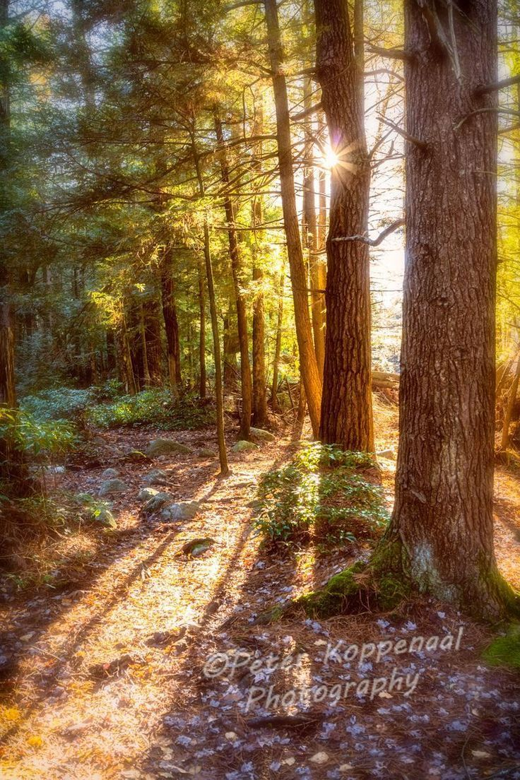 Pine Forest Morning Glow In 2020 Landscape Photography Nature Fine Art Landscape Photography Fine Art Landscape