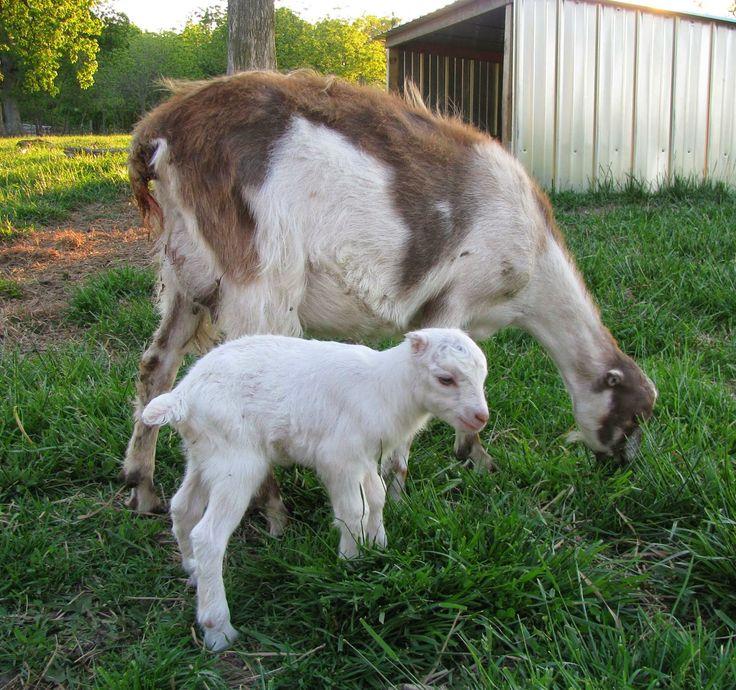 778 Best Goat Farm Images On Pinterest: 17 Best Images About Animals- Goats On Pinterest
