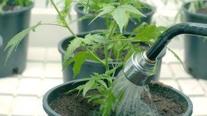 Es importante saber cuando y cómo debemos regar las plantas de Marihuana, para que no mueran de sed o por asfixia provocada por un exceso de agua. Los abonos tambien