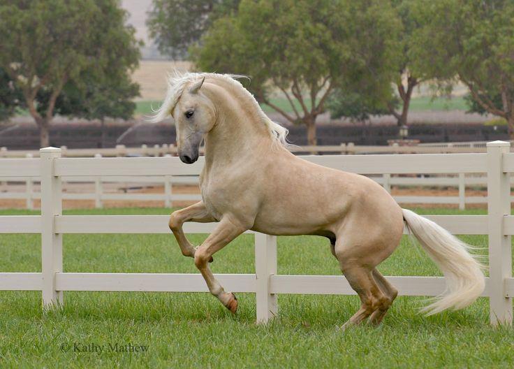 horses gorgeous horses beautiful animals palomino horses horses ...