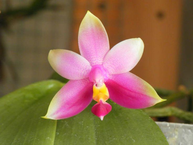 Phalaenopsis violacea, de Luis Gonçalves