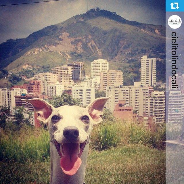 @cielitolindocali y @chachayelgalgo creen en Cali por que somos cada día más los que trabajamos para ella! Apoyamos el talento local y buscamos la creación de espacios donde todos incluidos los perros puedan disfrutar de esta hermosa ciudad y su brisa de la tarde.  Nuestras dos marcas hacen parte de @yocreoencali ! Yo Creo en Cali del Verbo Creer del Verbo Crear ❤️ #yocreoencali #cali #colombia  Euro les manda un beso!!