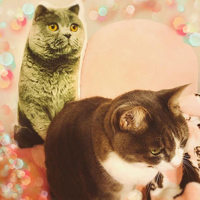 もう1匹増えたの?いえいえ 父からのクリスマスプレゼントの猫クッション(笑)もちろん母チョイスだけどね!! メチャクチャ手触りプニプニ柔らかくて癒されるけどふとした時半端ない目力にもう一匹いるみたいに錯覚するの😅🎄🎁🐱🐱💖 サラ姫は全く興味無しw🐱 #クリスマスプレゼント #クリスマス#猫#愛猫#サラ姫#猫グッズ#猫大好き