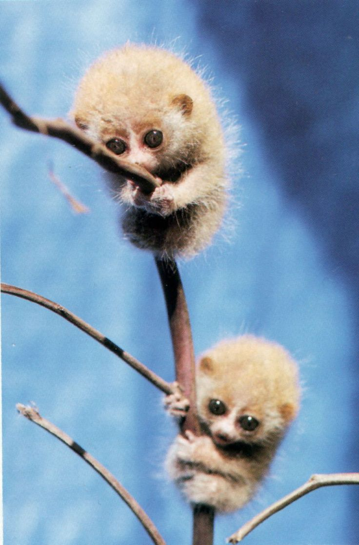 The 'Slow Loris's Babies are roughly the weight of paperclips.