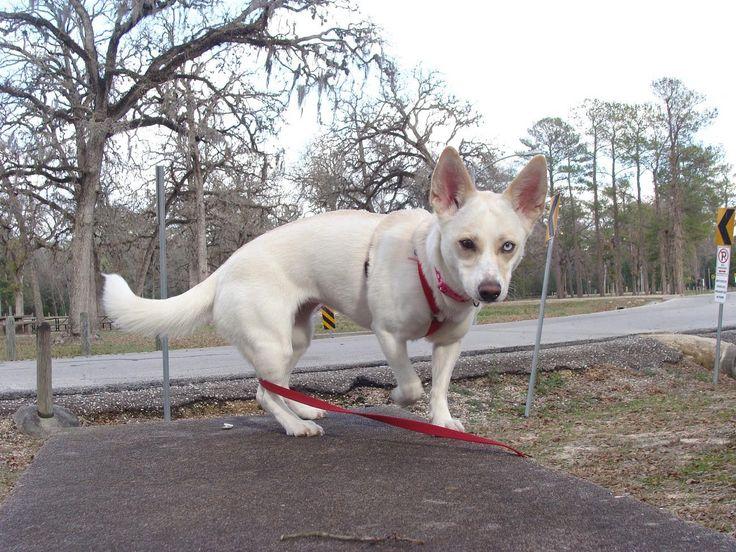 Half Chihuahua Half Husky Dog Breed Information